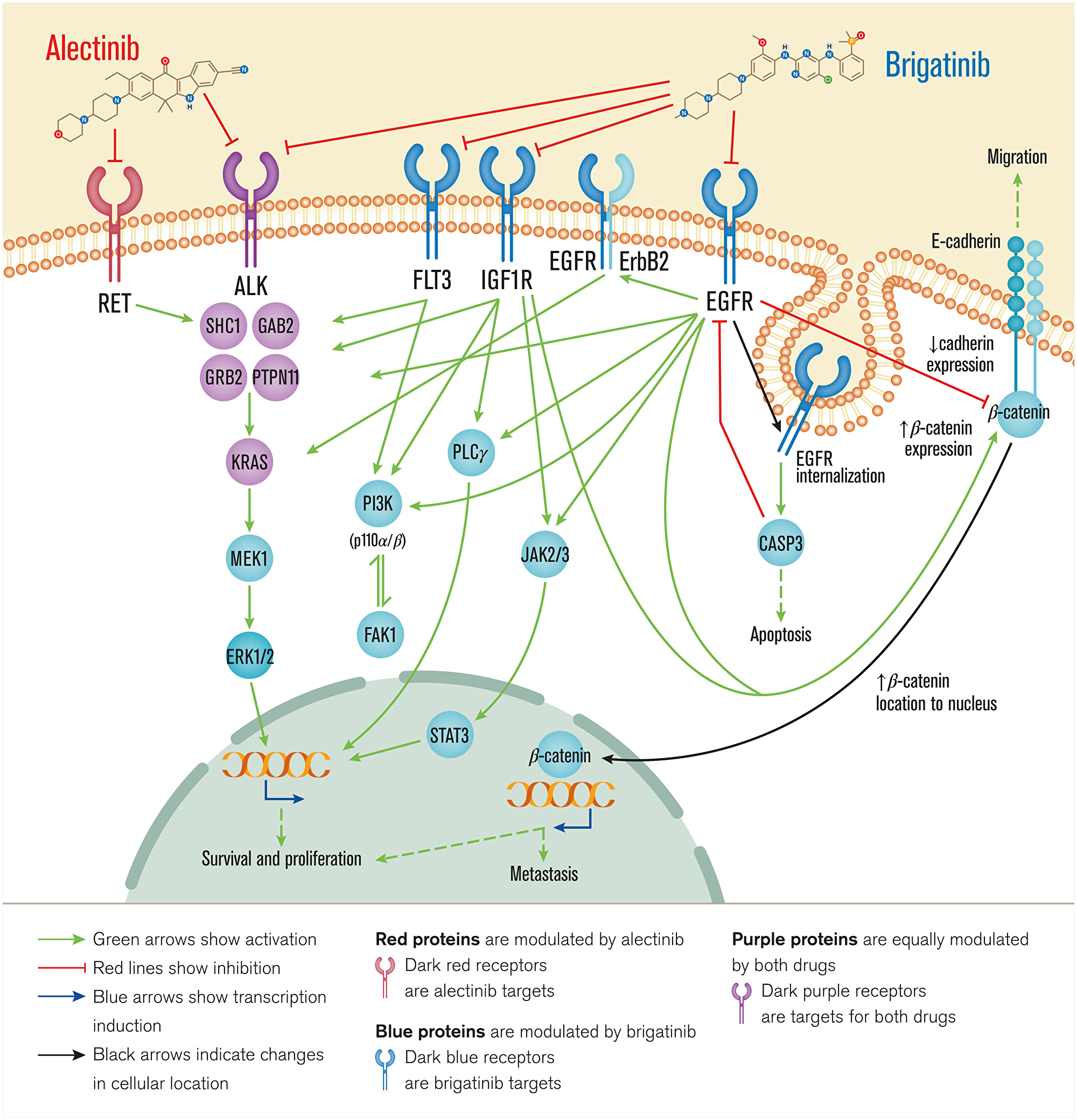Overview of brigatinib's and alectinib's mechanisms of action.