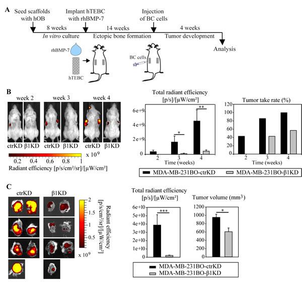β1 integrins promote the development of larger GFP-expressing tumors in the bone microenvironment