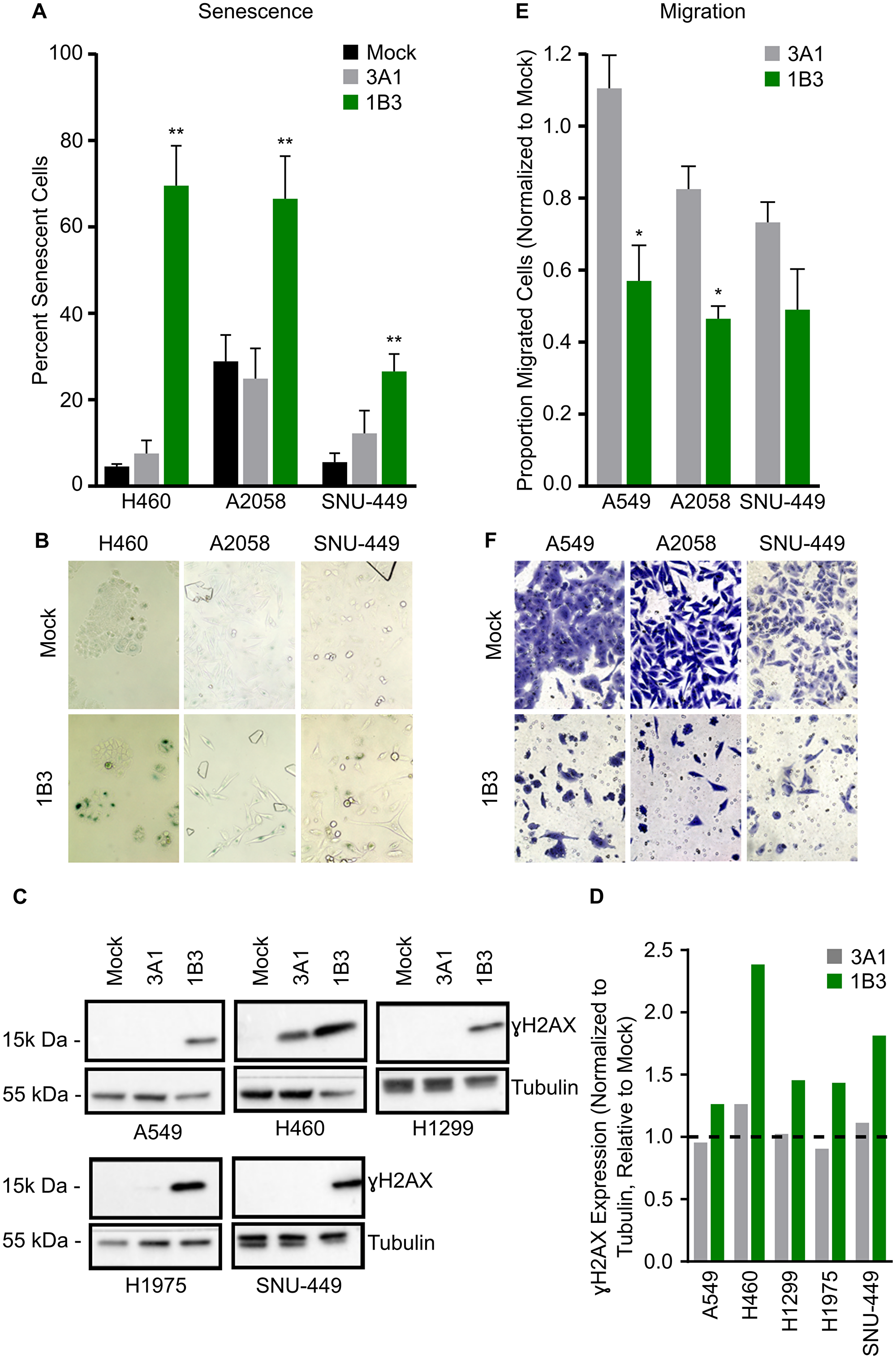 Effect of 1B3 on tumor cell senescence, migration, and DNA damage.