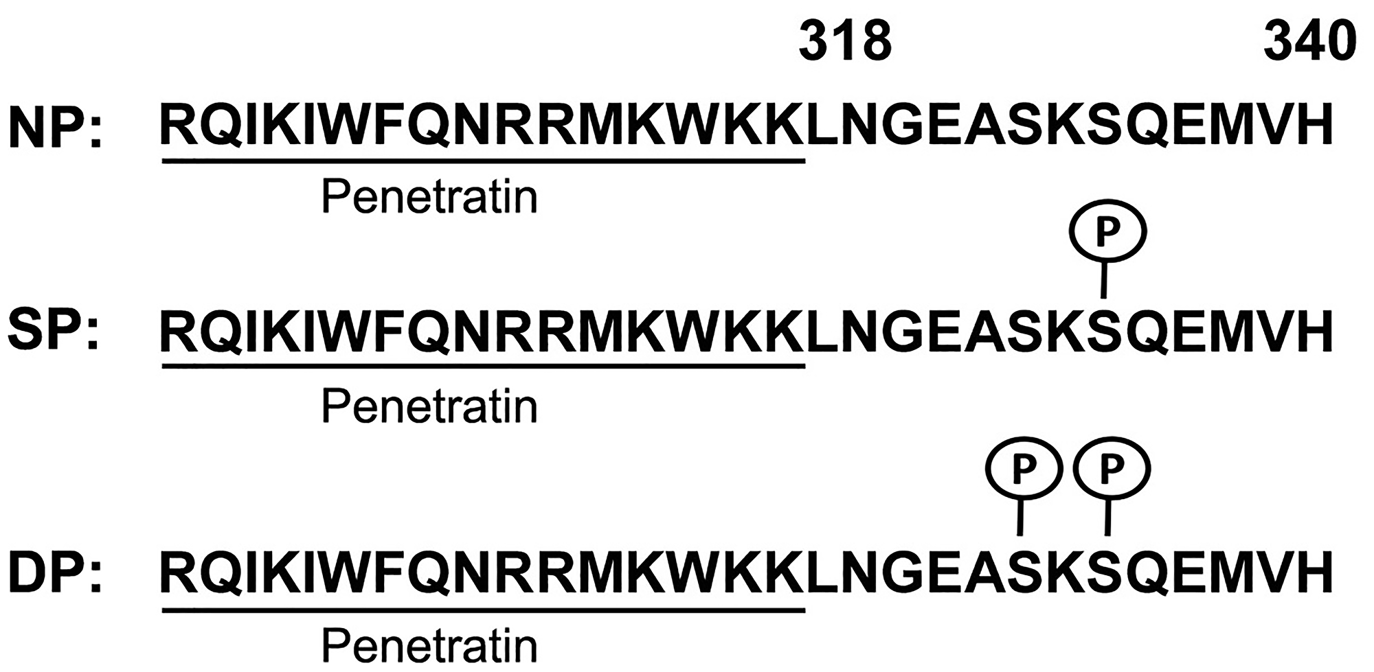 Generation of Penetratin-CD44ICD peptides.
