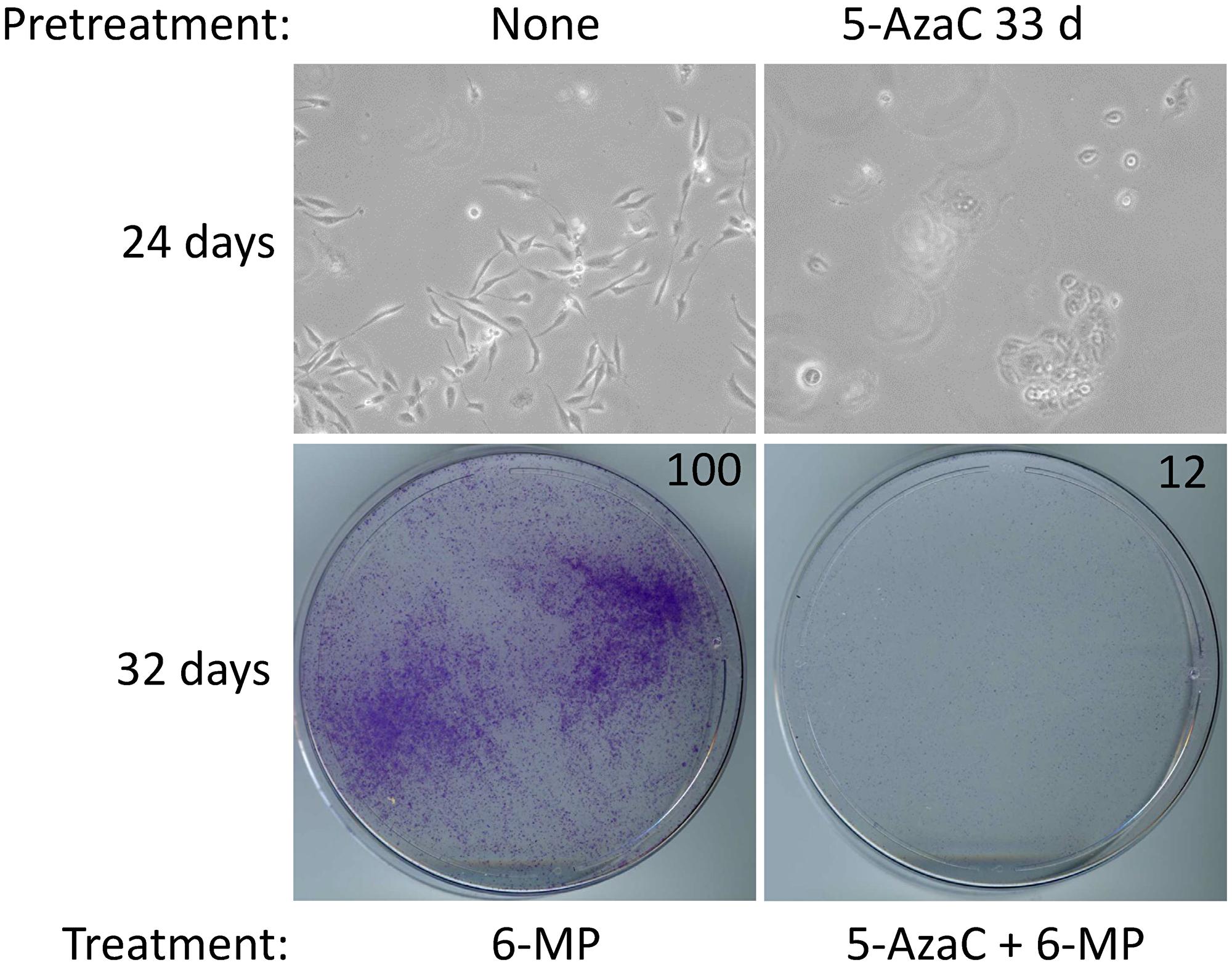 5-AzaC pretreatment sensitizes SUM149-MA cells to low-dose 6-MP.