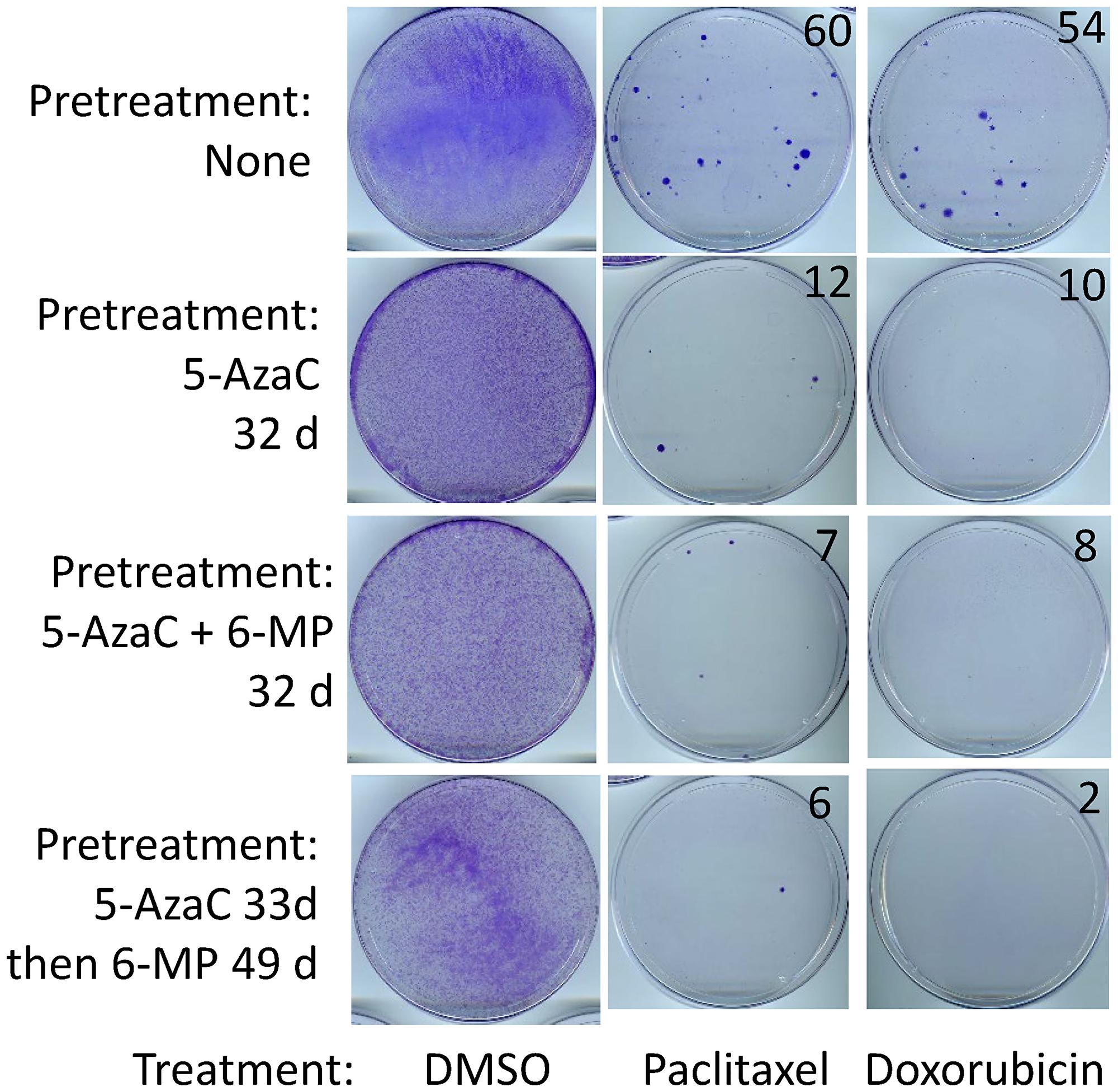 SUM149 cells surviving 5-AzaC/6-MP treatments are sensitive to cytotoxic drugs.