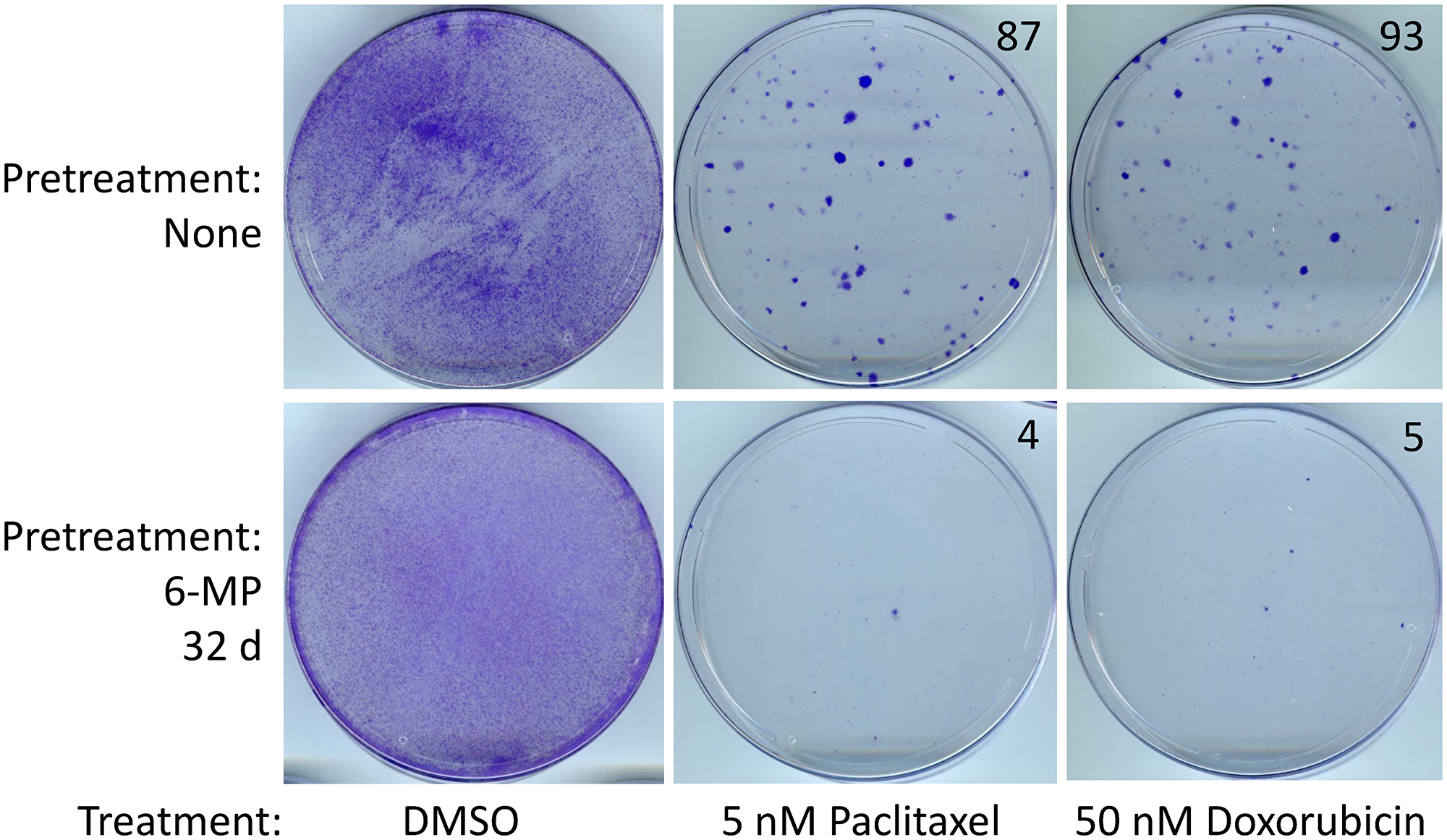 SUM149-MA cells surviving a 6-MP treatment are sensitive to chemotherapeutic drugs.