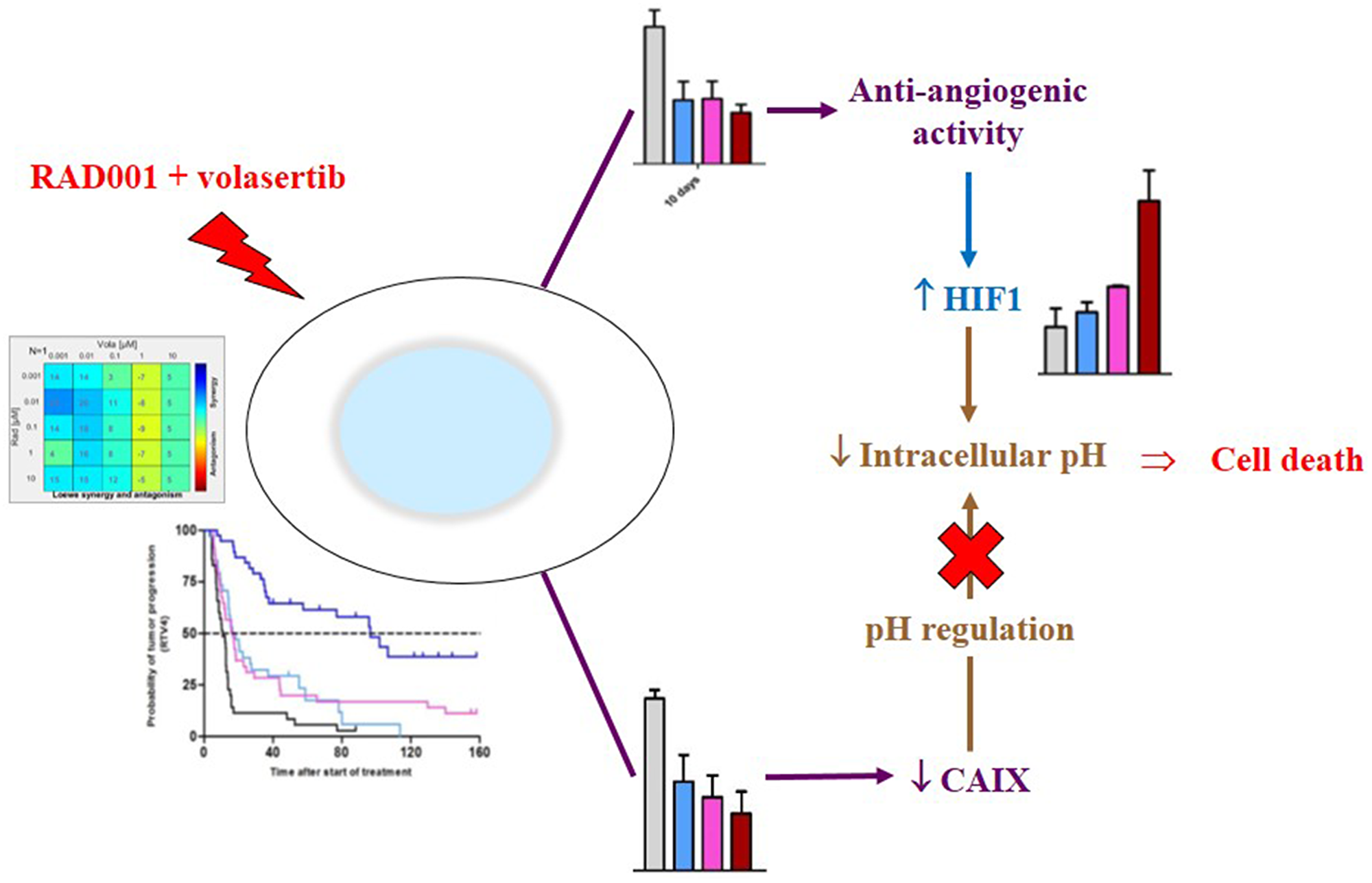 Mechanism of the antitumor activity of the RAD001 (everolimus) + volasertib combination.