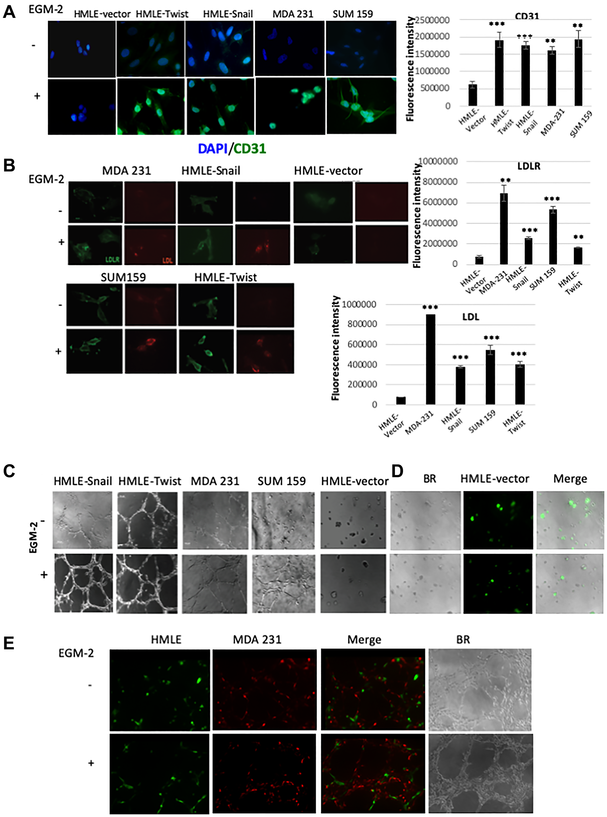 Cells that have undergone EMT can acquire endothelial-like phenotypic traits and functional behaviors in vitro.