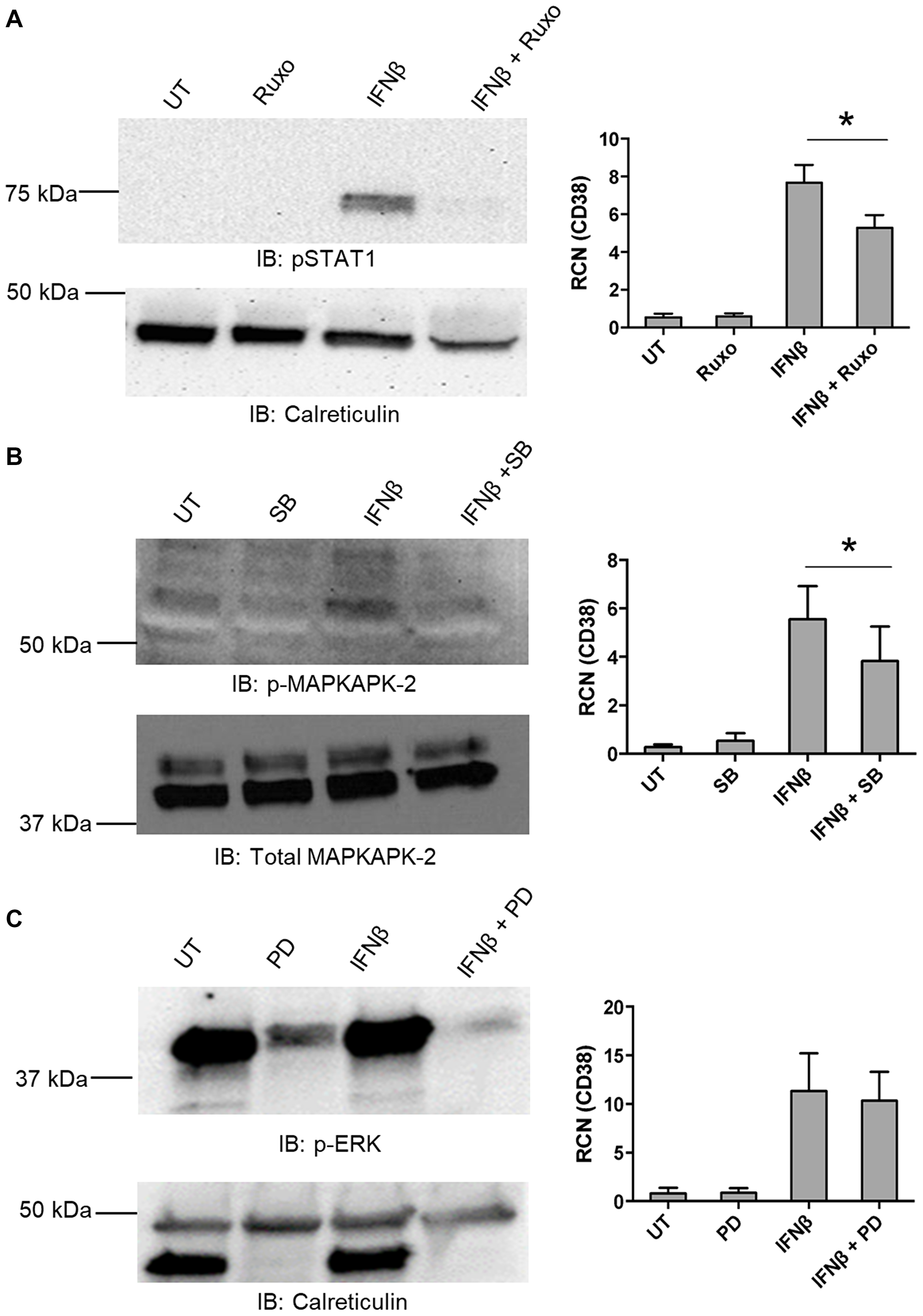IFNβ-mediated up-regulation of CD38 requires canonical and non-canonical pathways.