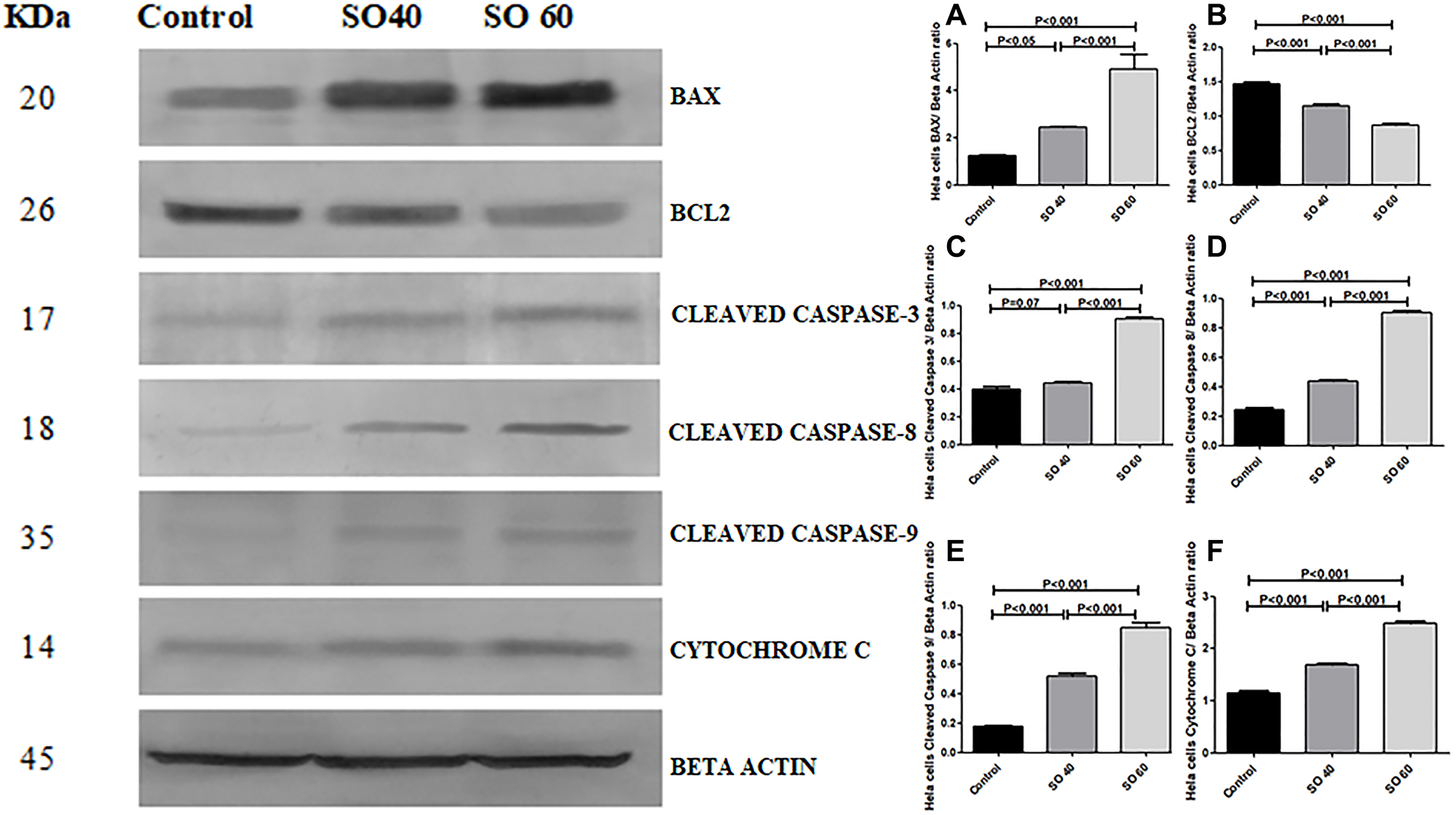 Expression of apoptotic proteins Bax, cleaved caspase-3, cleaved caspase-8, cleaved caspase-9, cytochrome c and anti-apoptotic proteins Bcl2 in 40 mmol and 60 mmol SO treated HeLa cancer cells compared to control non-treated HeLa cells.