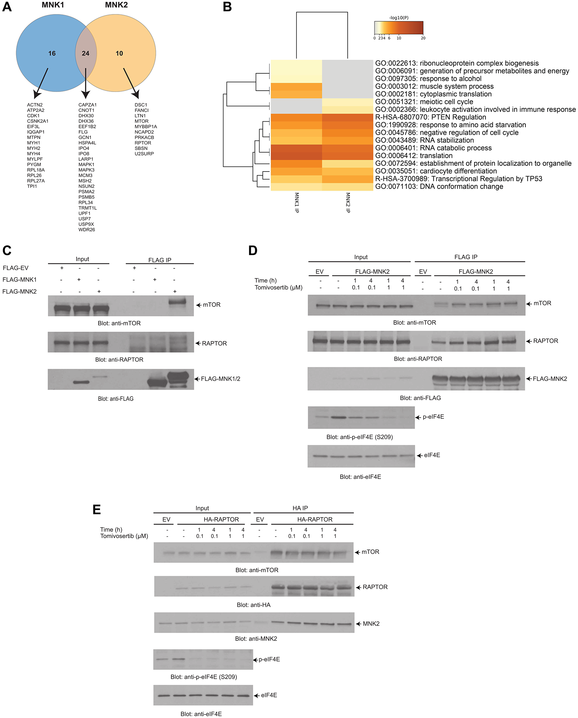 LC-MS/MS analysis identifies putative MNK1/2 targets and interactors.