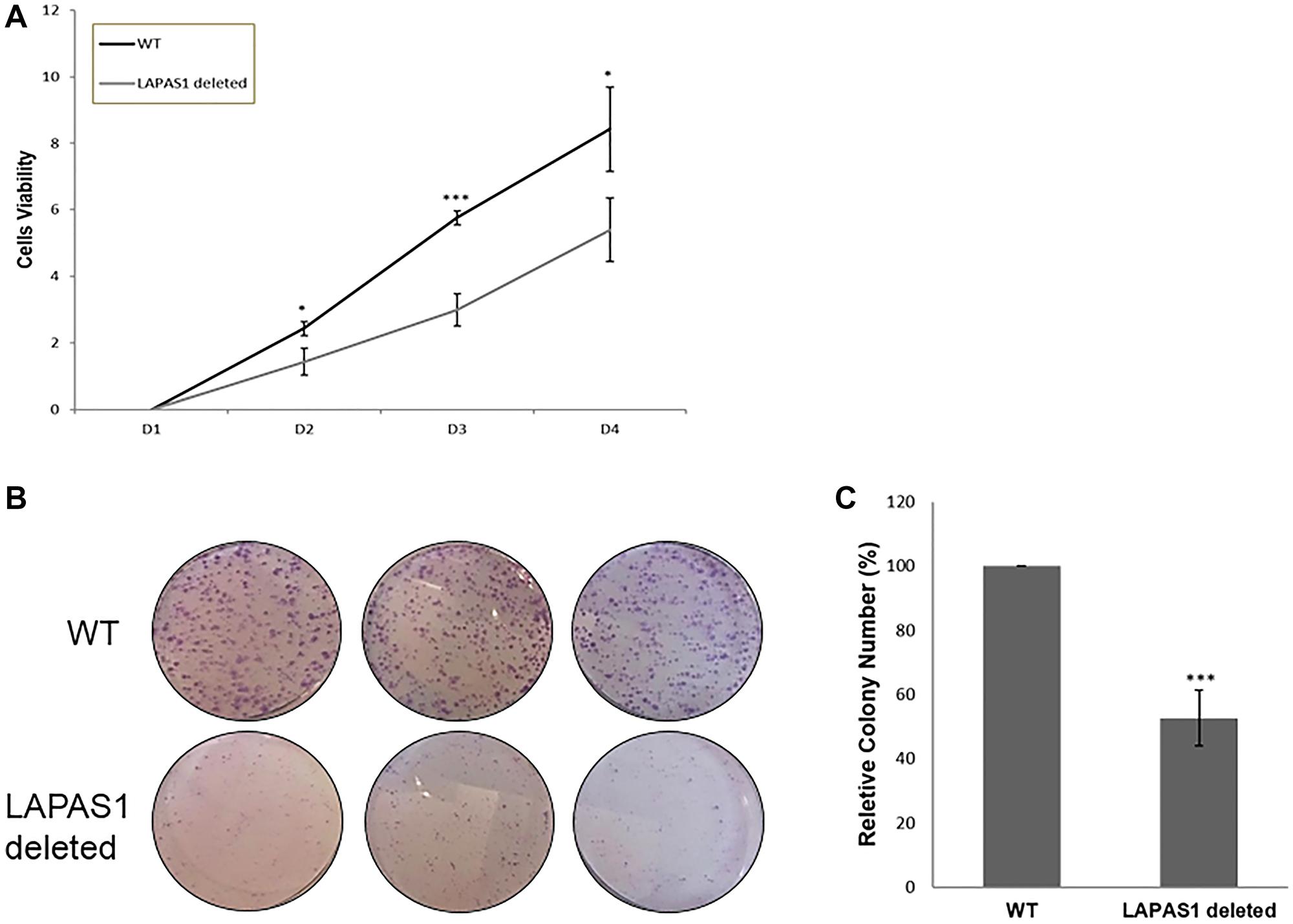 LAPAS1 deletion attenuates cell proliferation.