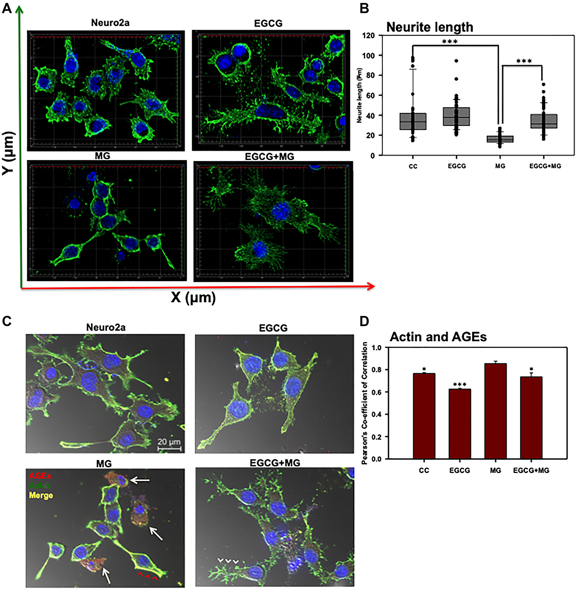 Effect of EGCG on actin cytoskeleton remodeling.