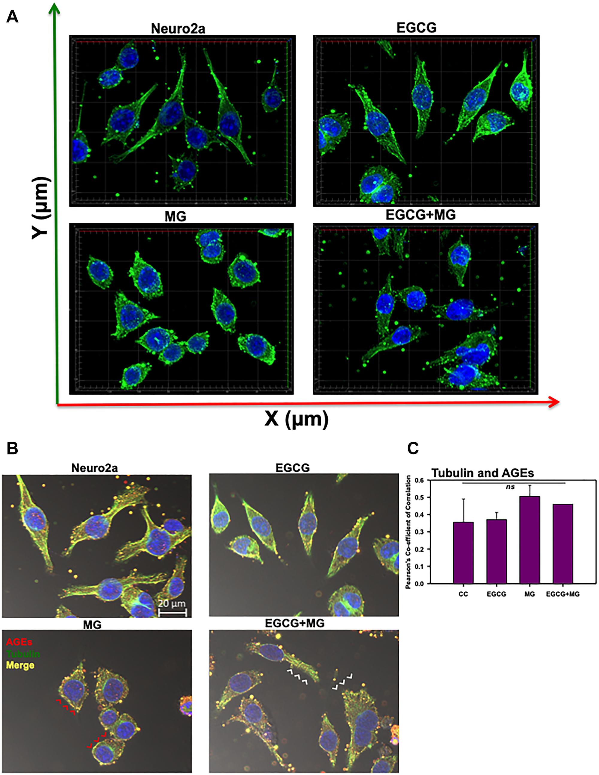 Effect of EGCG on tubulin cytoskeleton.
