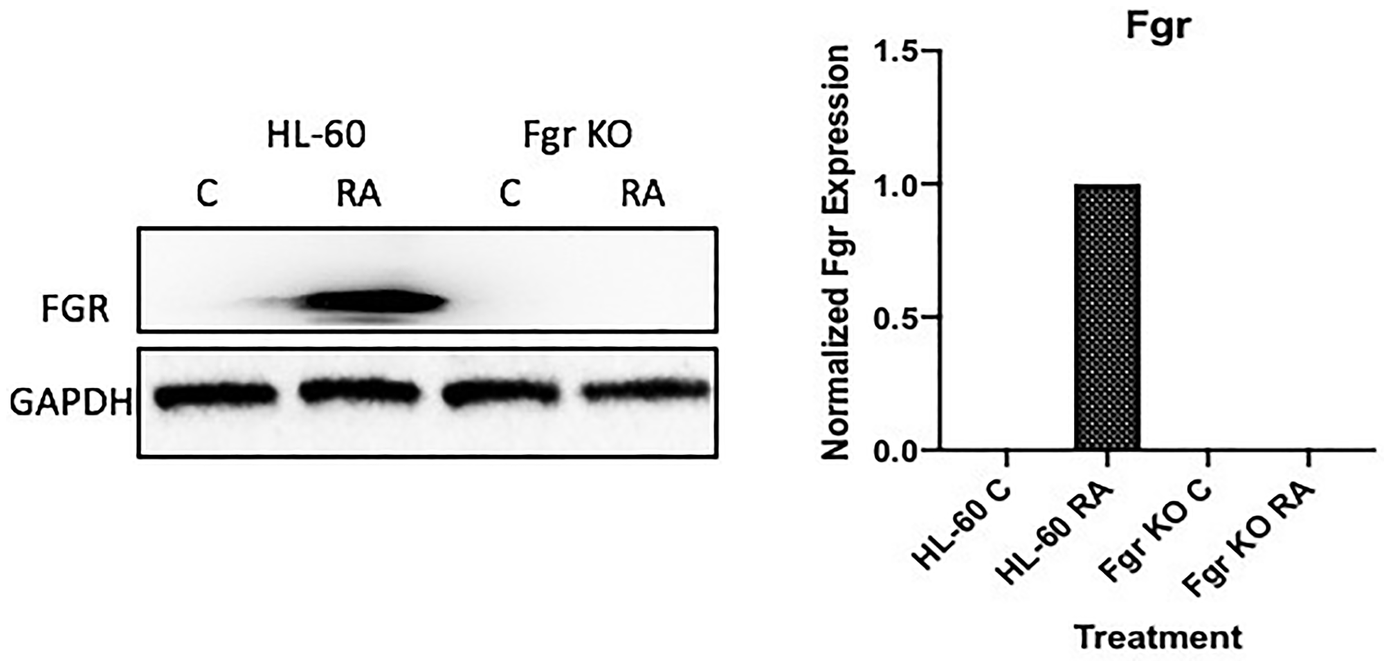 FGR Western blot analysis of HL-60 wt and FGR KO cells untreated and treated with RA.