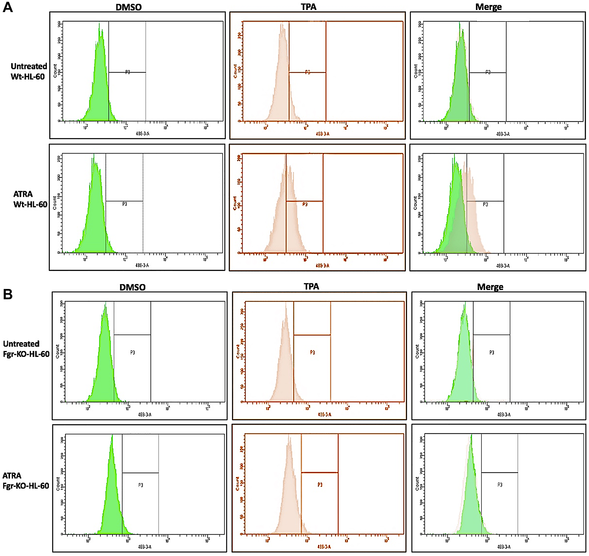 Functional differentiation marker analysis of HL-60 wt and FGR KO cells untreated and treated with RA measured by TPA-induced respiratory burst.