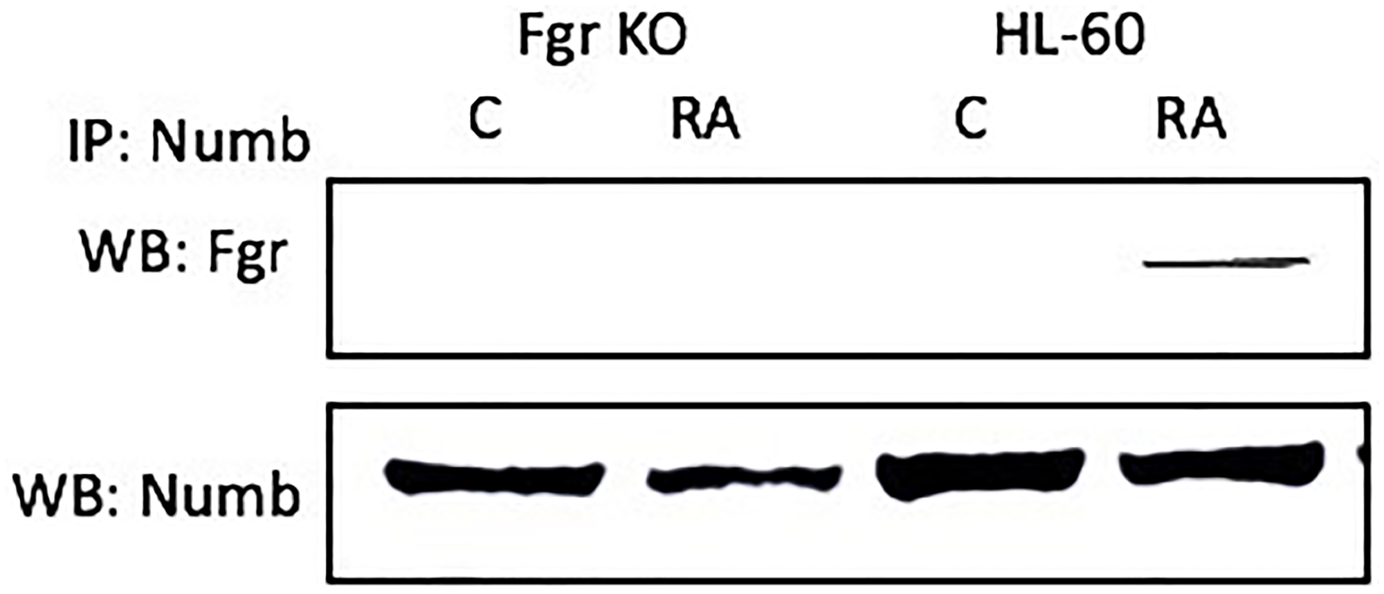 The NUMB-FGR interaction assessed by immunoprecipitation.