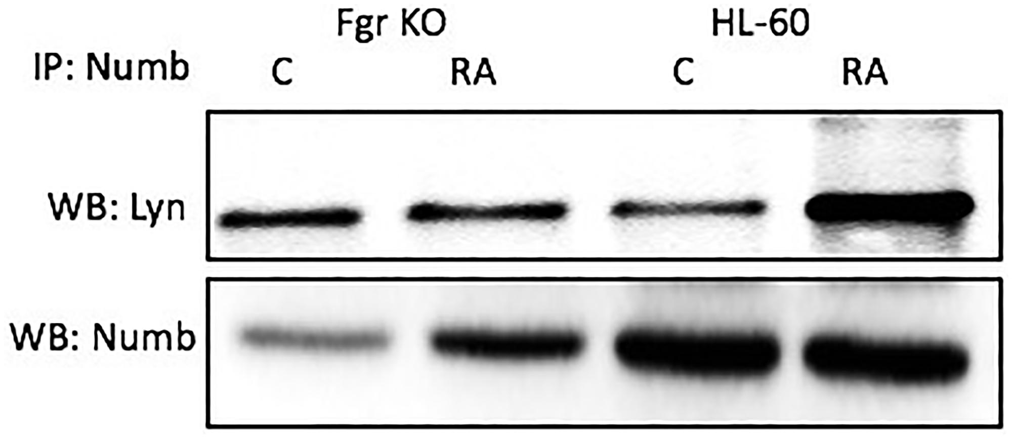 Numb binding Lyn in HL-60 wt and Fgr KO cells assayed by immunoprecipitation.