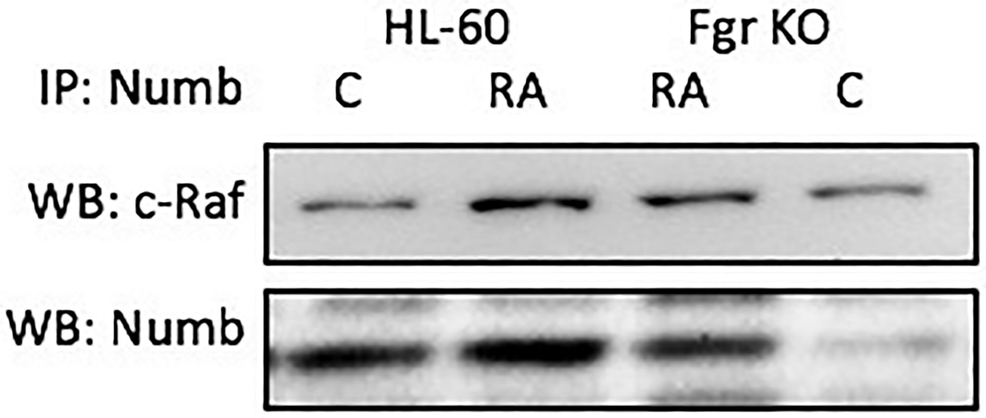 Numb binding Raf in HL-60 wt and Fgr KO cells assayed by immunoprecipitation.