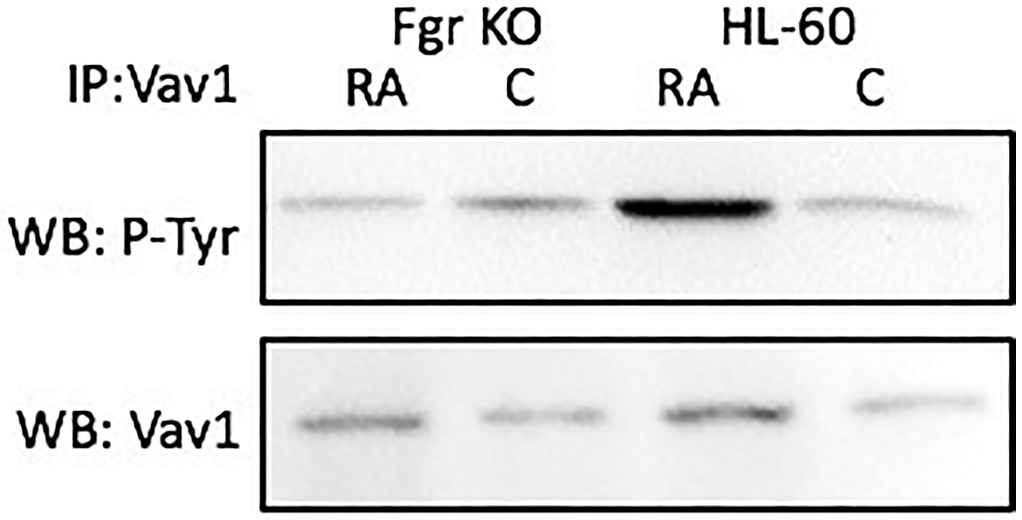 Vav tyrosine phosphorylation in HL-60 wt and Fgr KO cells assessed by immunoprecipitation.