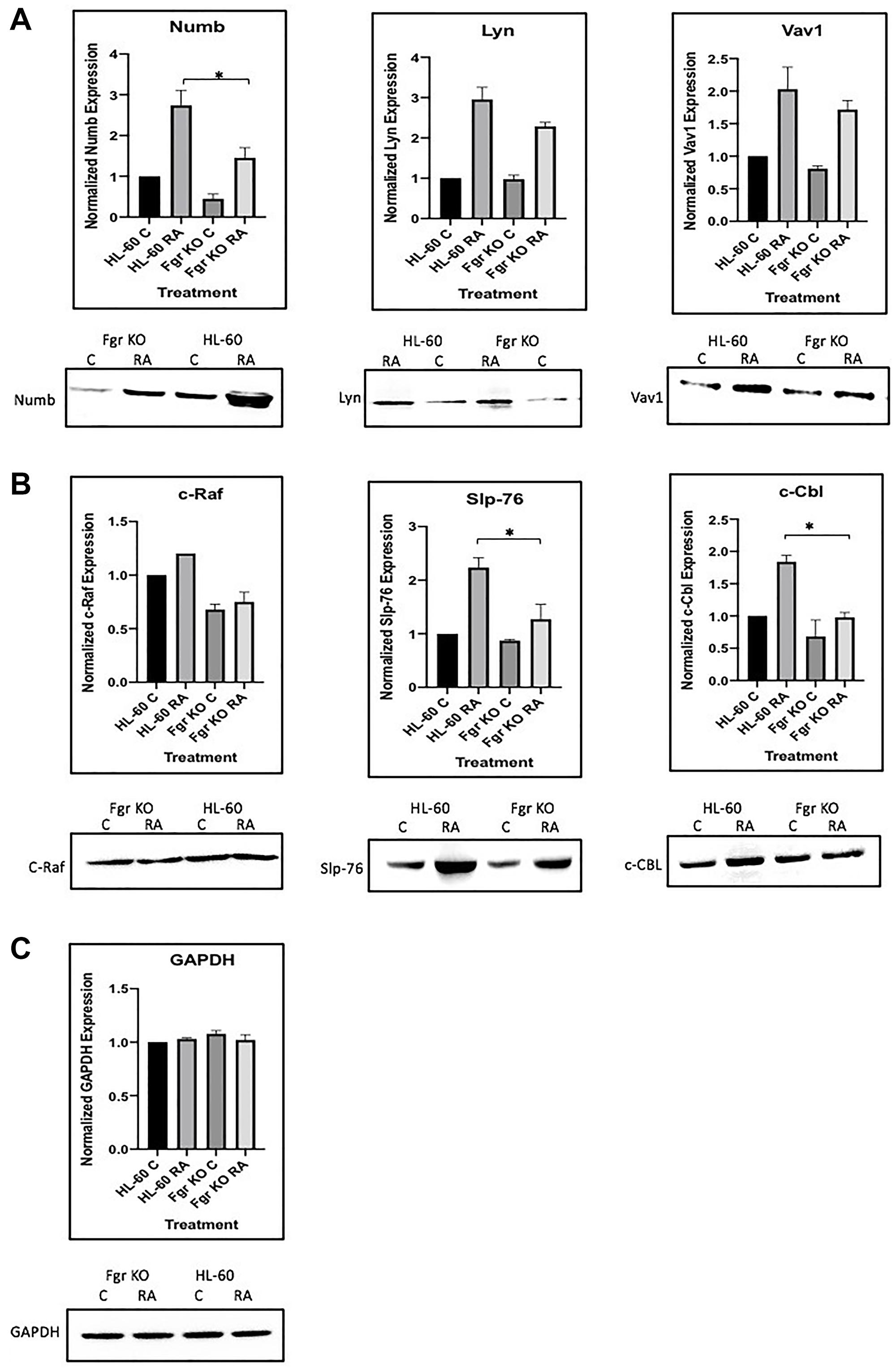 """Regulation of """"spine"""" molecules in HL-60 wt versus Fgr KO cells by RA."""