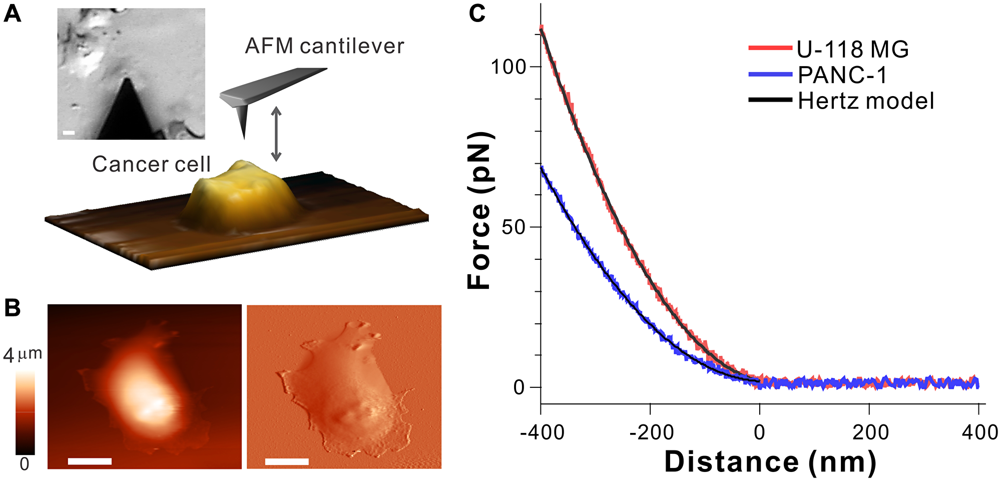 Atomic force spectroscopy probing biomechanical properties of cell surface.