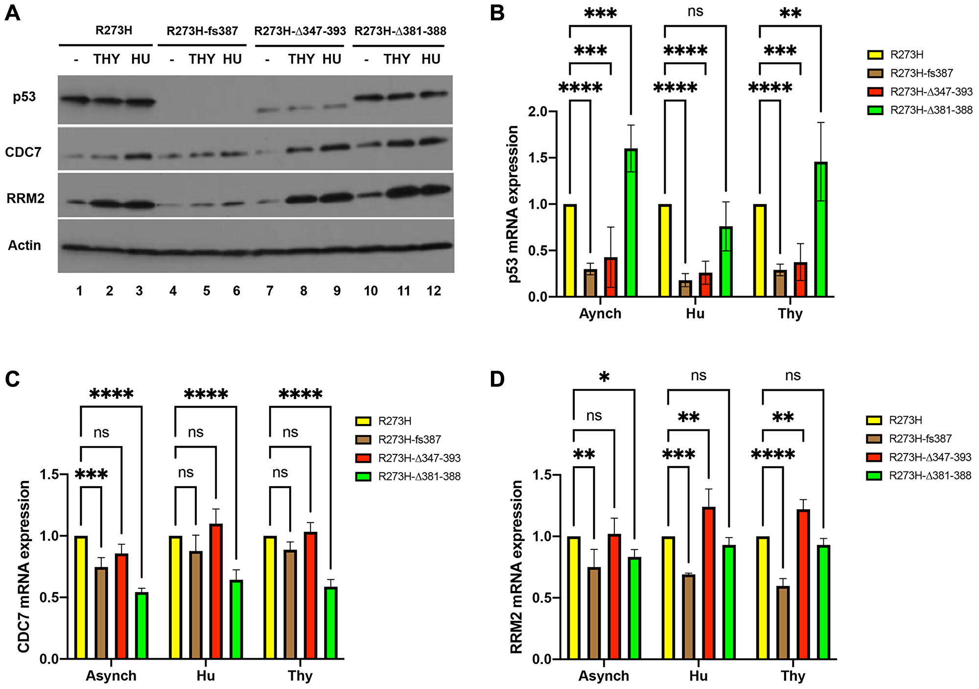 Correlation of mtp53 variants protein and mRNA abundance with RRM2 and CDC7 in MDA-MB-468 CRISPR-Cas9 generated mtp53 cell lines.