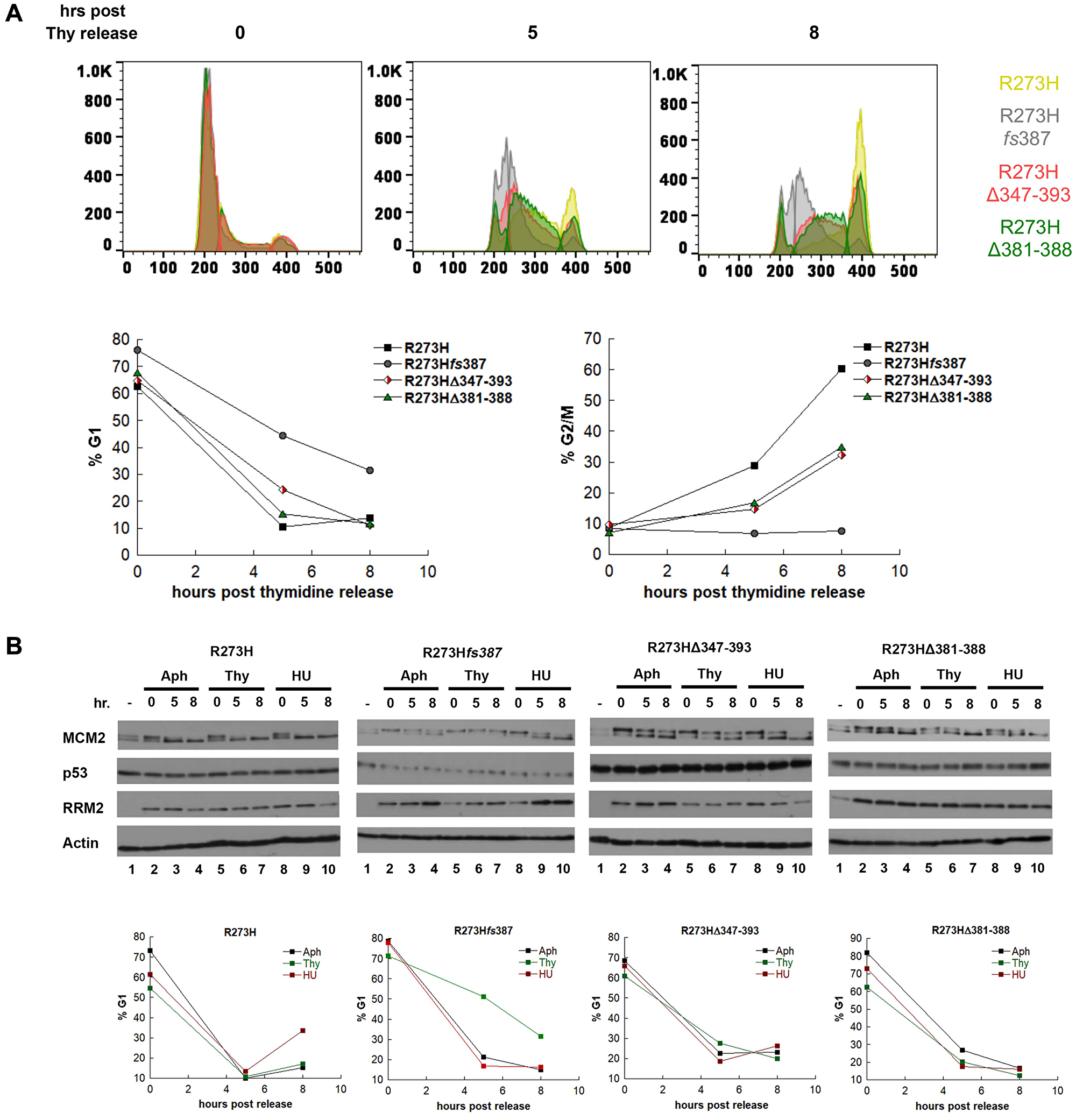 MDA-MB-468 CRISPR-Cas9 generated mtp53 variant-expressing cells display thymidine sensitivity characterized by slow progression through S-phase.