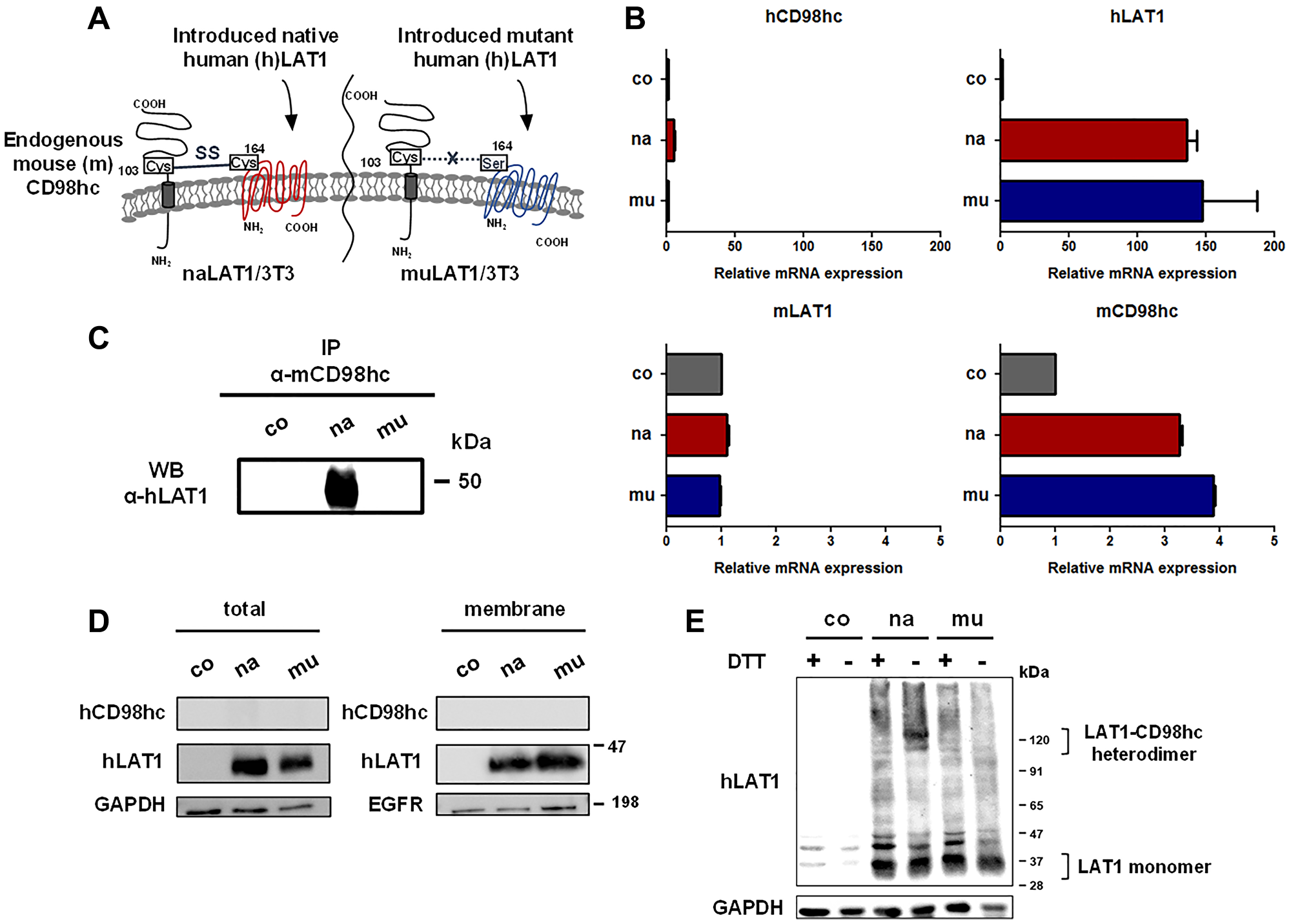 Establishment and basic characterization of NIH/3T3 cell lines expressing human native or mutant LAT1 protein.