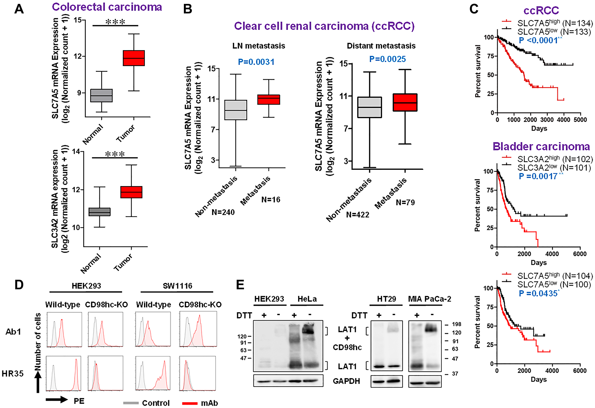 TCGA analyses (expression, metastasis and prognosis) and possible CD98hc-independent cell-surface expression of LAT1 in human cells.