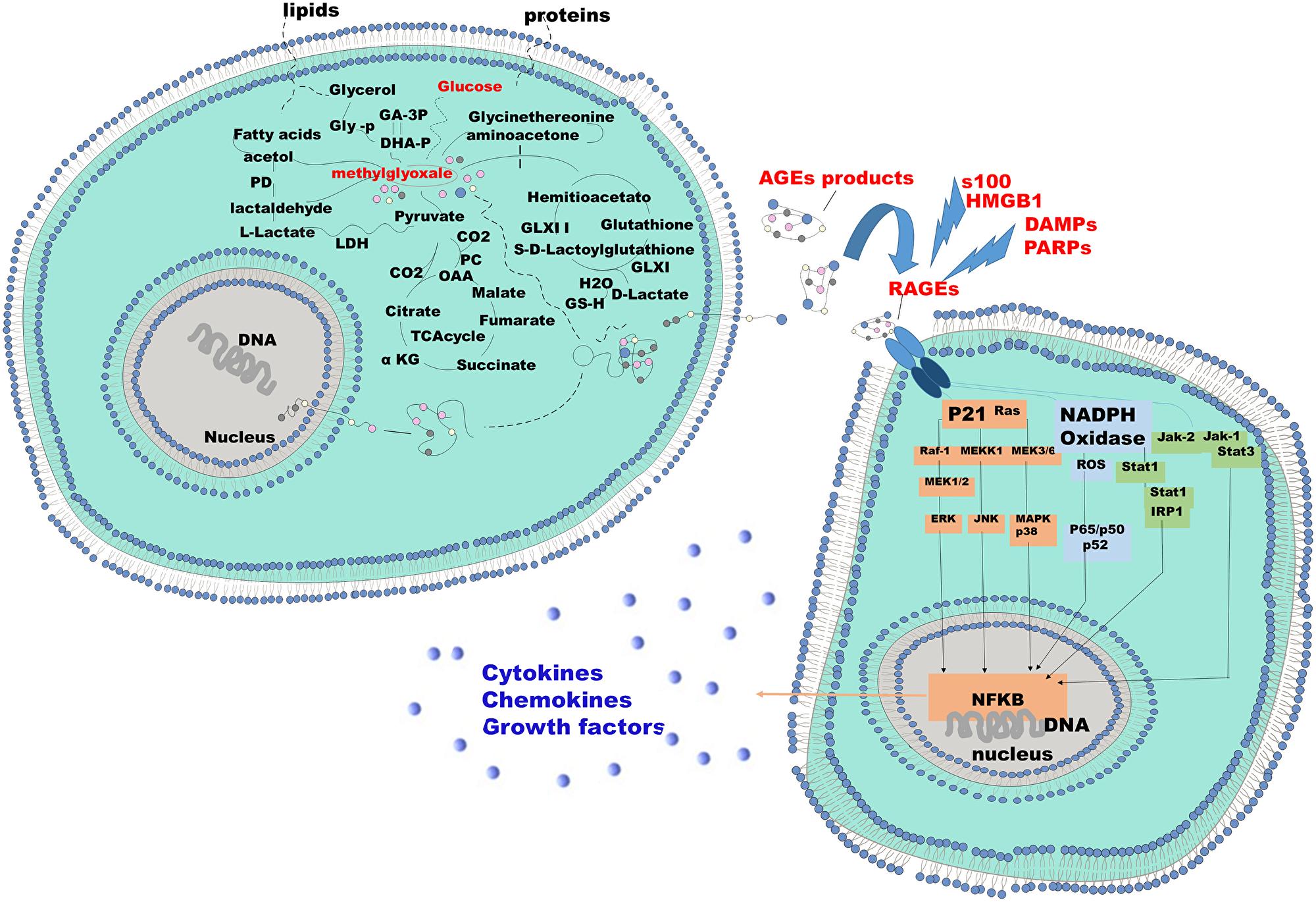 Mechanism of endogenous AGE formation and pathobiological actions of RAGE receptor ligands.