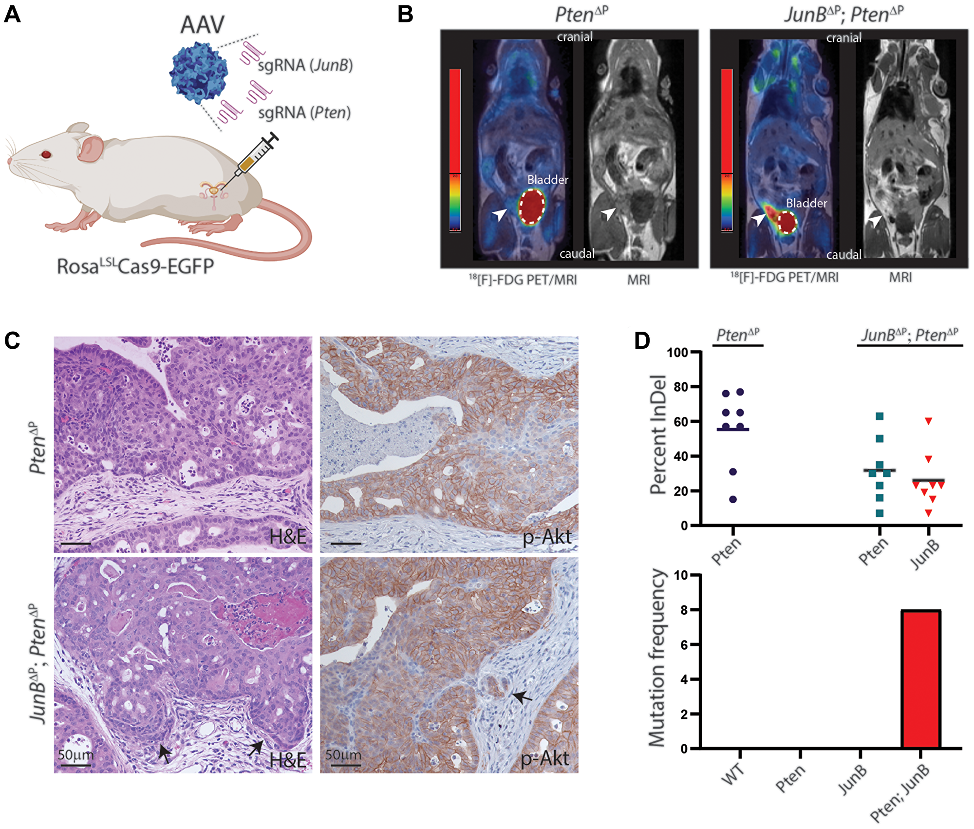 Loss of JunB and Pten in the murine prostate epithelium by CRISPR/Cas9.