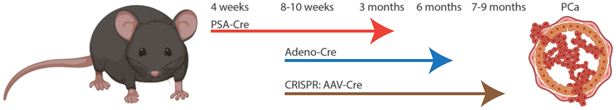 Comparison of Cre/lox to CRISPR induced prostate cancer in mouse.