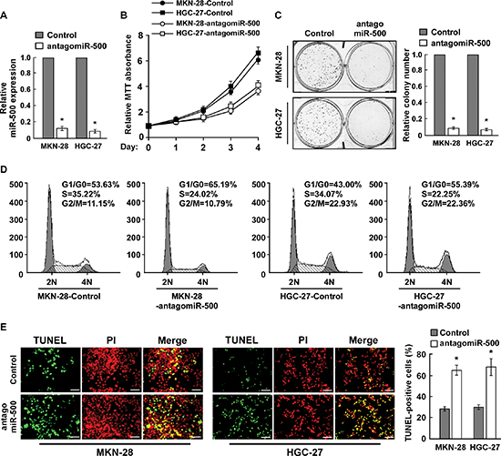 Inhibition of miR-500 suppresses proliferation and induces apoptosis of gastric cancer cells in vitro.