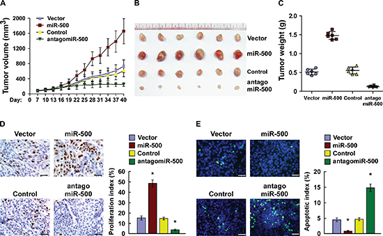 Overexpression of miR-500 contributes to gastric cancer progression in vivo.