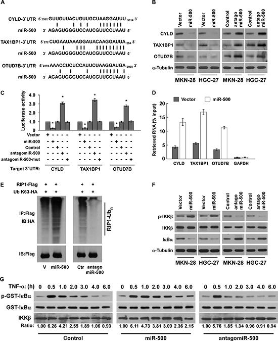 MiR-500 directly suppresses multiple NF-ĸB negative regulatory genes.