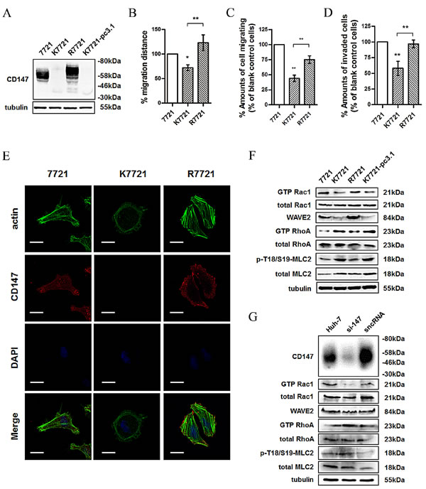 Fig.1: CD147 regulates cell morphology and motility via coordinating Rac and Rho signalings.