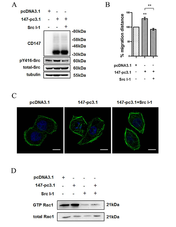 Fig.3: Src is required for CD147 regulated cell movement in HCC cells.