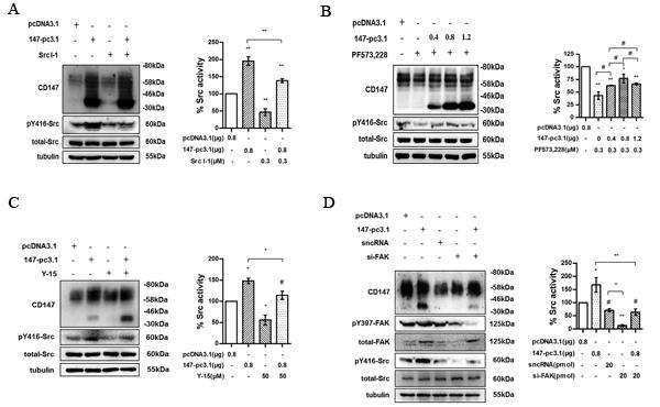 Fig.4: CD147 promotes Src activation through FAK.