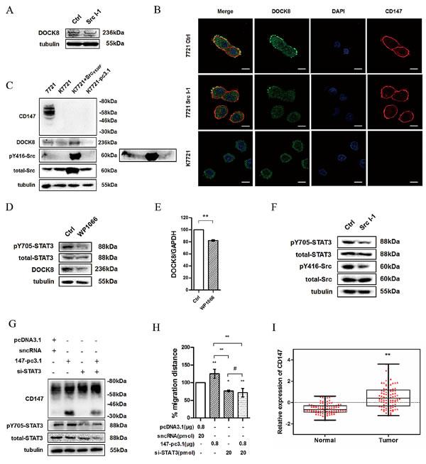 Fig.6: Src promotes DOCK8 expression via enhancing STAT3 phosphorylation.