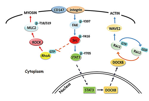 Fig.7: Schematic representation of the major molecular mechanisms of CD147 in regulating hepatocellular carcinoma cells motility.