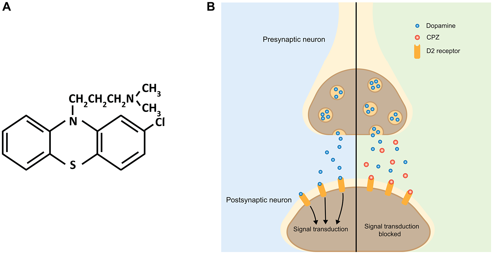 Schematic of the effect of CPZ on dopaminergic neurotransmission.