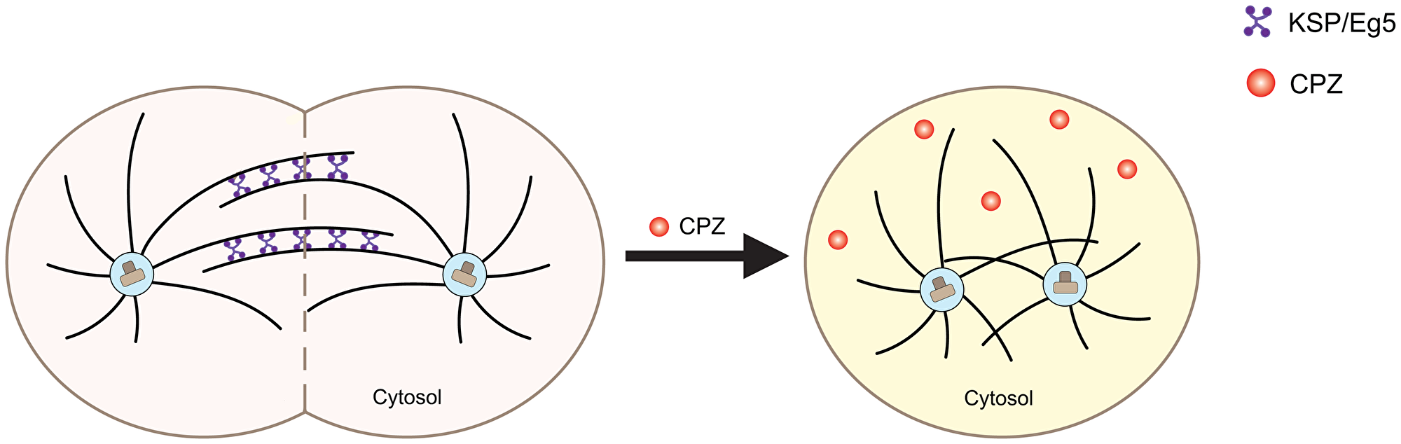 Schematic of the effect of CPZ on mitotic kinesins.