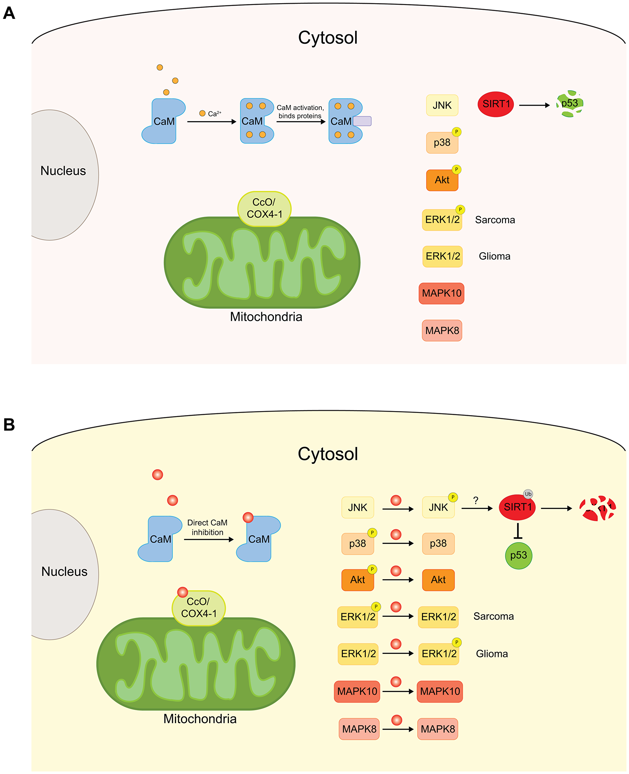 Schematic of the effects of CPZ on cytoplasmic and mitochondrial proteins.