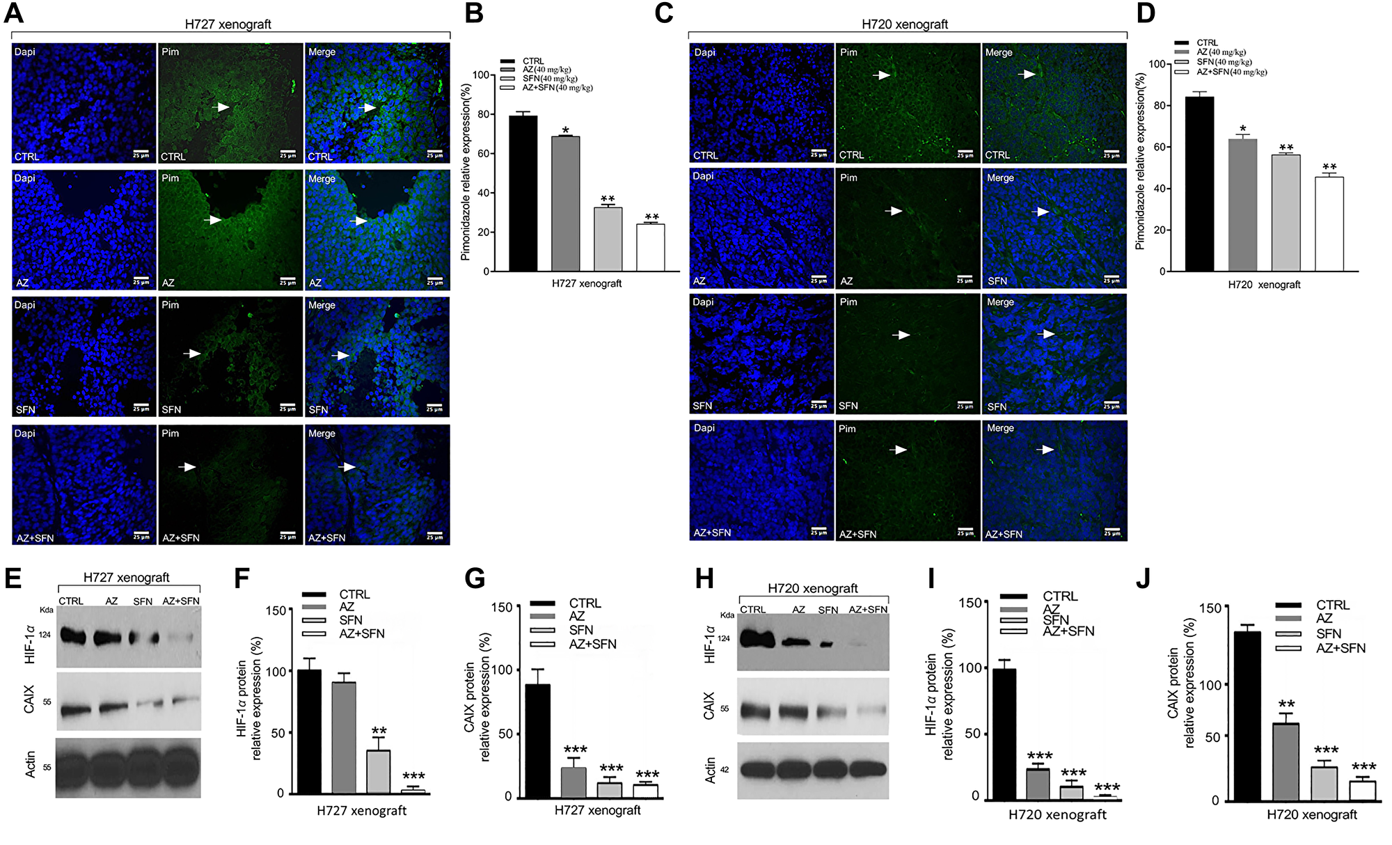 AZ, SFN, and AZ+SFN upend hypoxia microenvironment in H720 and H727 xenografts using Hypoxyprobe™ (pimonidazole hydrochloride) immunohistochemical analysis and western blot of HIF-1α and CAIX in xenograft lysates.