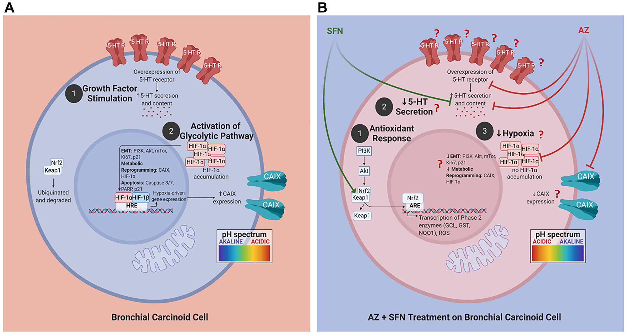 Proposed schema of AZ, SFN, and AZ+SFN targeting the pro-survival pathways in BC.