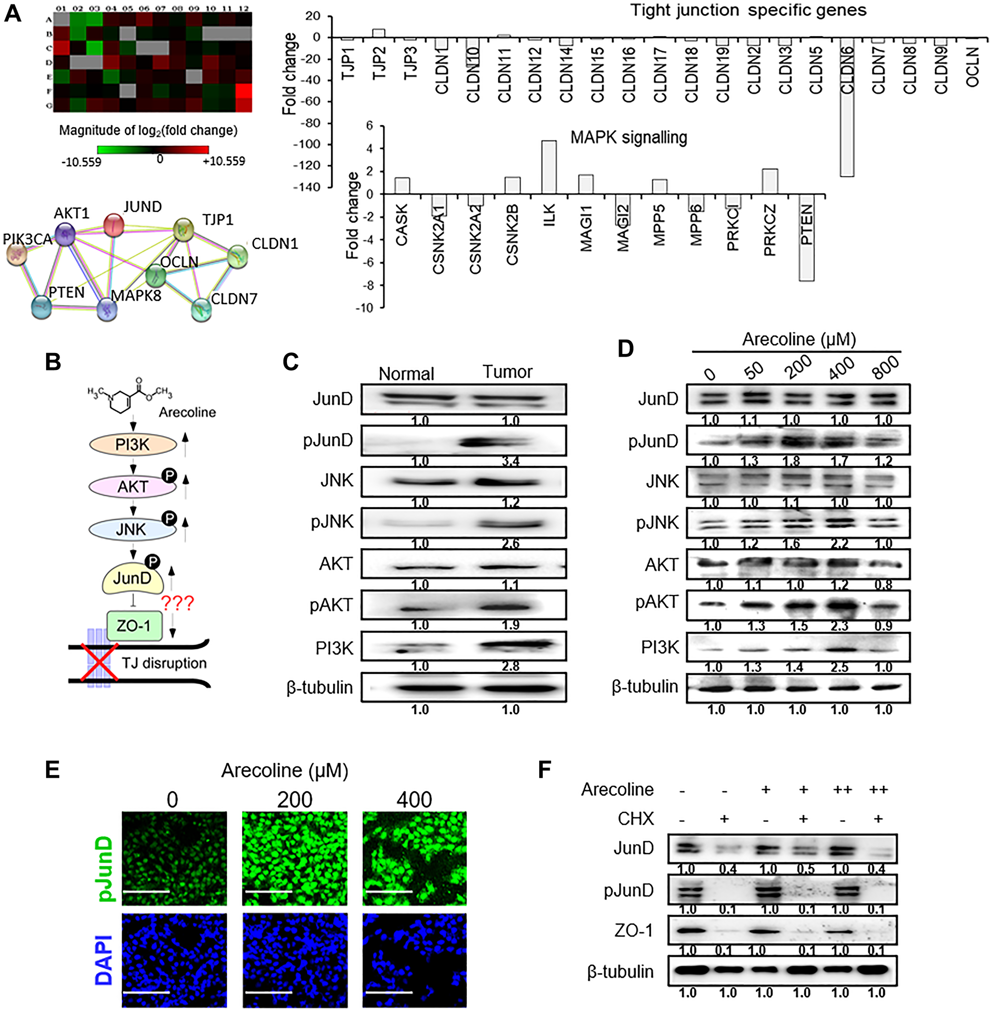 Arecoline-induced activation of the MAPK pathway mediators.