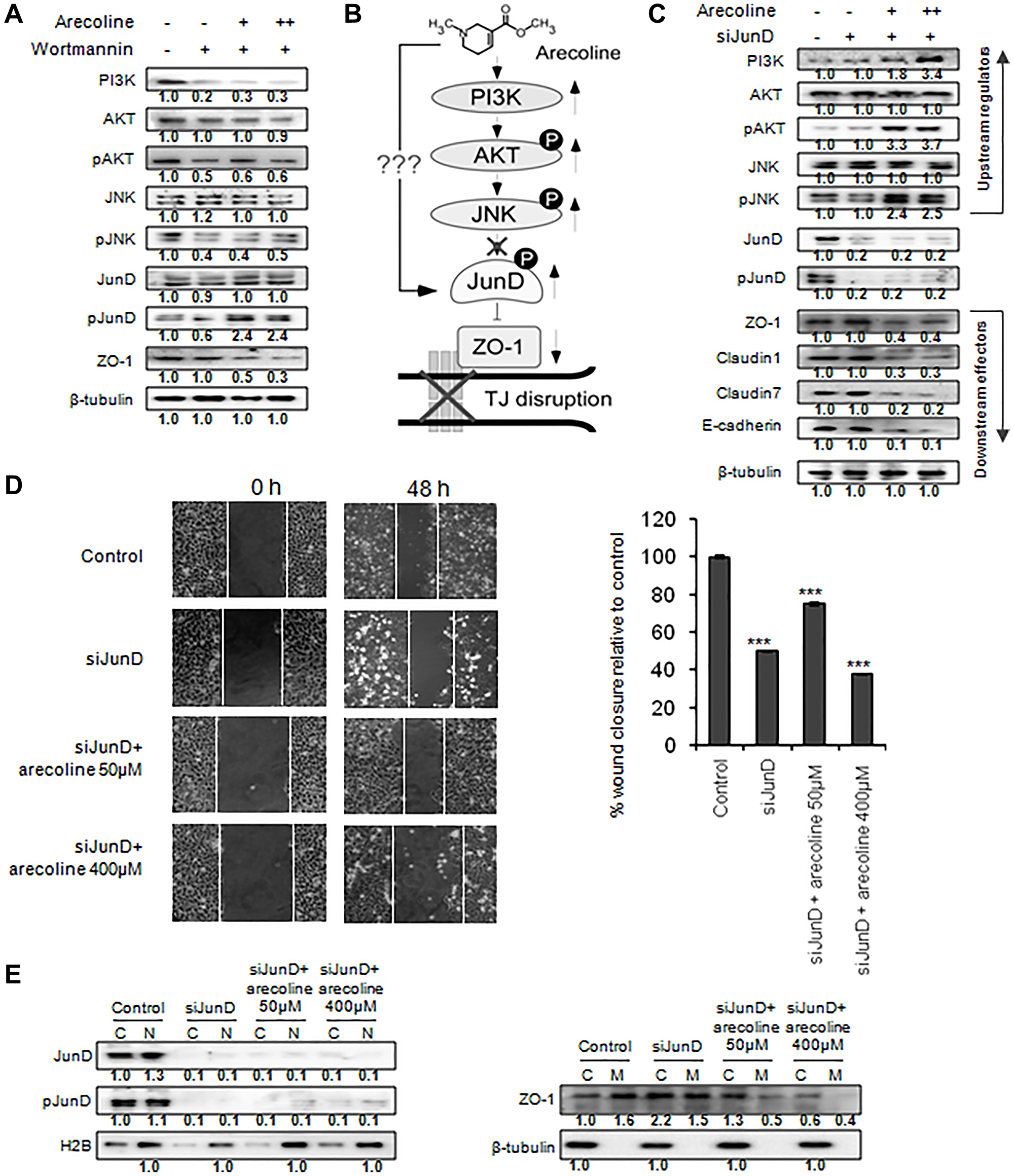 Arecoline mediates tight junction disruption by JunD phosphorylation and ZO-1 down regulation.