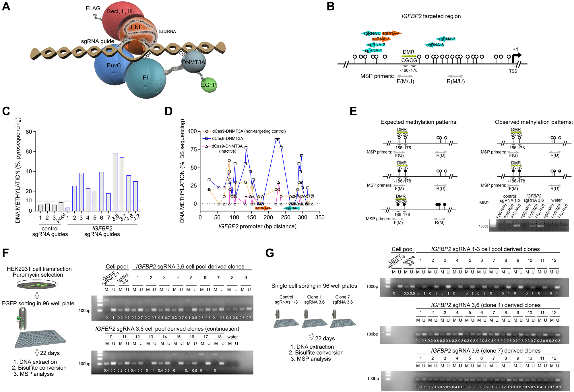 RNA-programmed DNA methylation of IGFBP2 promoter introduces stable and heritable marks across mitotic cell divisions.