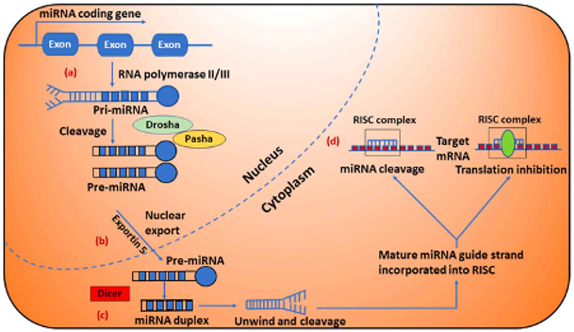 Biogenesis and clinical implications of microRNAs (miRNAs).