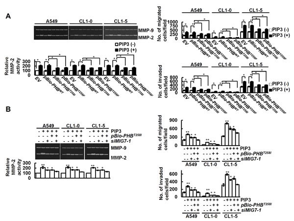 PIP3 increases MMP2 and migration/invasion of lung cancer cells via both phospho-PHB