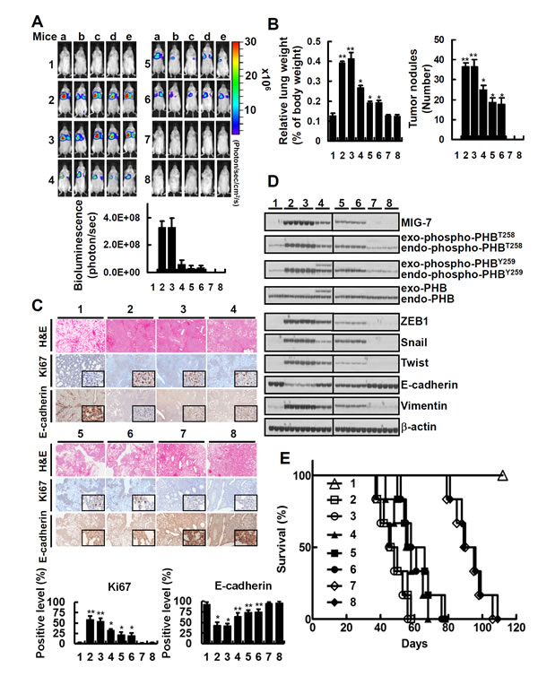 Downregulation of both MIG-7 and phosphorylated PHB has an additive effect on inhibition of lung cancer cell colonization/metastasis