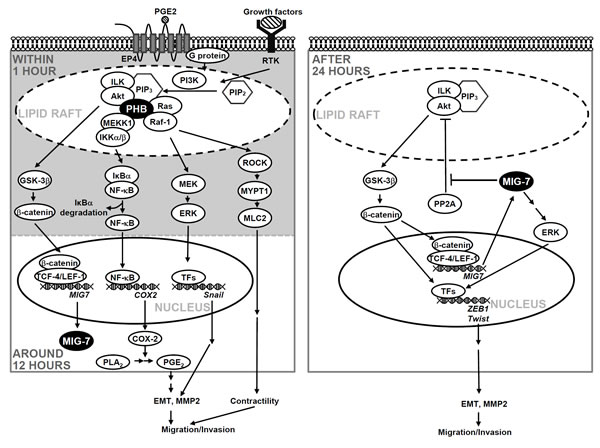 Schematic diagram illustrates the roles of PHB and MIG-7 in regulating the effects of growth factors and PGE2 on lung cancer migration/invasion.